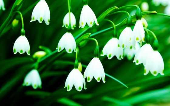 cvety, flowers, цветочки, зелёный, колокольчики, белый,