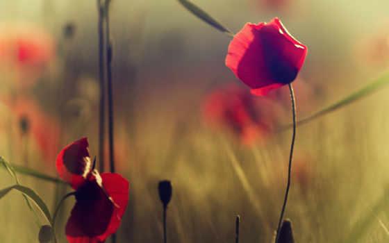 маки, цветы, красные, полевые,