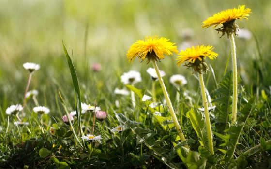 top, цветы, dandelions, images,