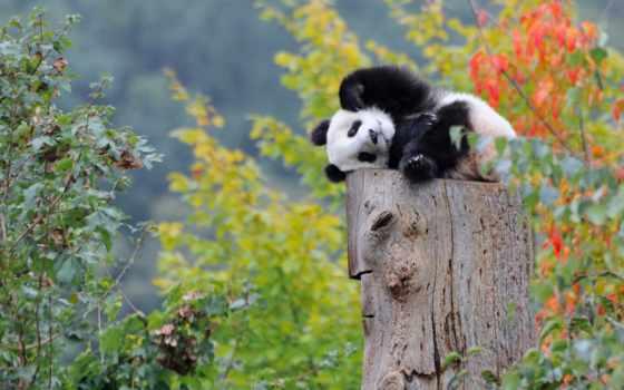 природа, pandas, zhivotnye, панда, devushki, pinterest, су, категории, гигант,