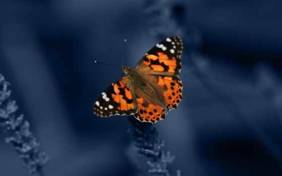 бабочка, оранжевый, blue, butterflies, black, you,