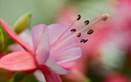 розовый, лепестки, widescreen, petals, макро, тычинка,