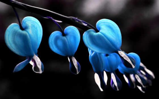 bleeding, сердце, blue, растение, sale, цветы, черви, cvety, perennial, spectabilis, дицентра,