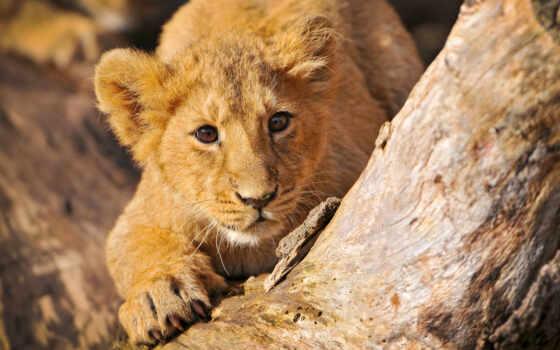 lion, разработанный, wallpaperscraft, иствуд, ка, sher, тыс, apple, ocenka, samsing, львы