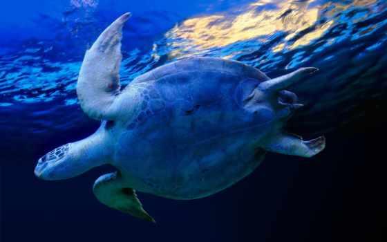 черепаха, синий