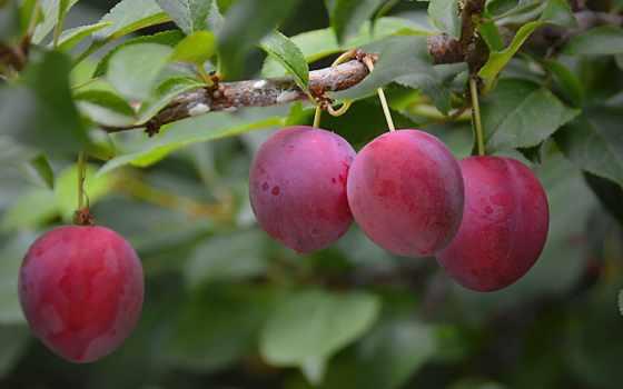 плод, слива, дерево, nice, free, desktop,