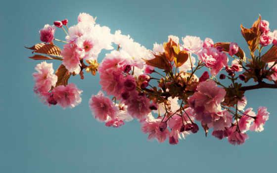 branch, fone, сакуры, цветы, цветущей, розовые, Сакура, листва, неба, цветущая,