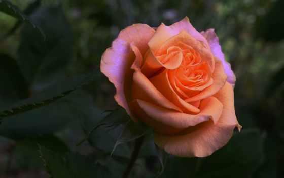 roses, garden,