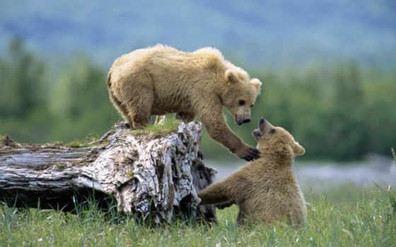 zhivotnye, природа, природы, дикая, животных, медведи, удивительные, трава, медвежата, медведь, living,