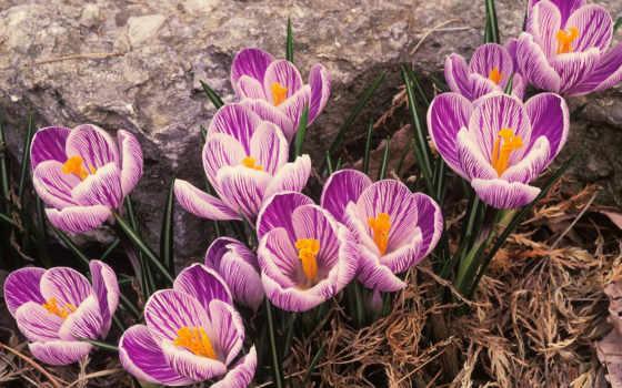 шафран, крокус, семена, цветы, цветов, крокусы, шафрана,