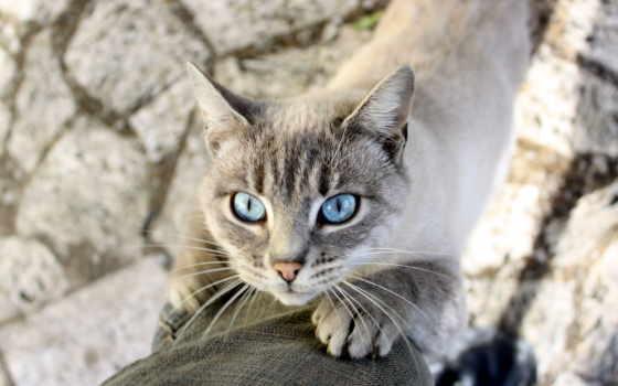 cats, новосибирске, blue, кот, eyes, фгбу, federal, центр, нейрохирургии,