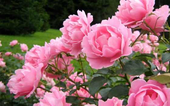 цветы, пионы, скачали
