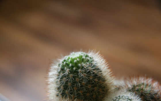 кактус, иголки, макро, природа,