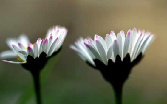цветы, белые, розовые