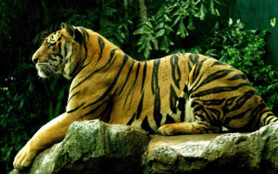 тигр, избранные, добавить