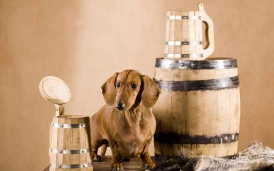 пиво, free, собака, stock, fotos, shutterstock, images, фотообои,
