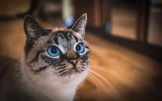 кот, domestic, short, порода, волосы, shorthair