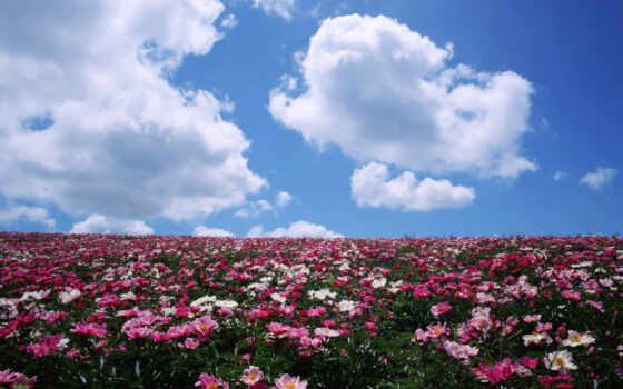 цветы, поле