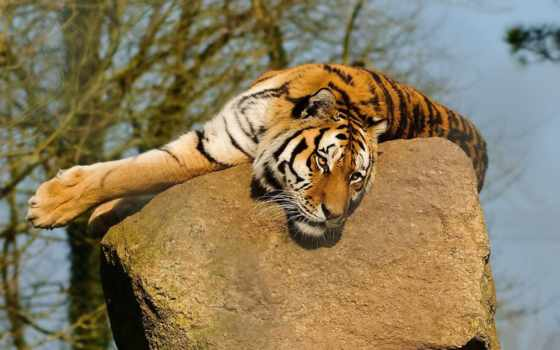 тигр, морда, лапы, лежит, усы, смотрит, камне, животные,