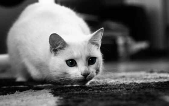 кошки, кот, белые