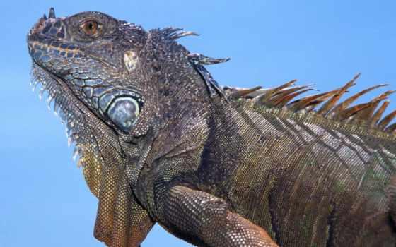 iguana, zhivotnye
