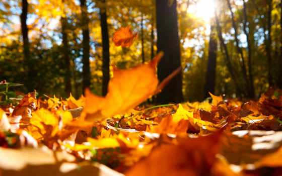 осень, клен, листва