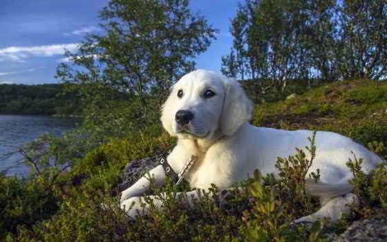 собаки, картинка, zhivotnye