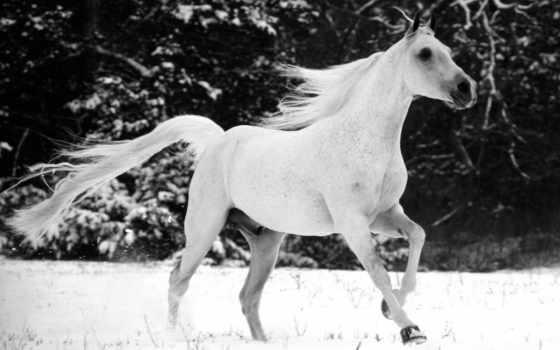 horse, white