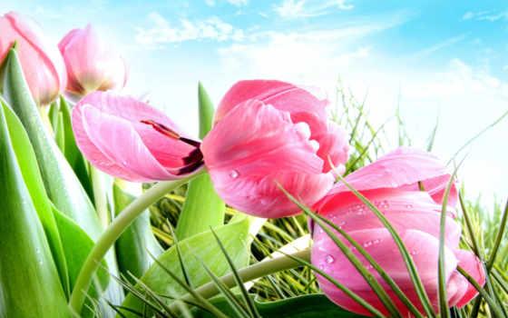 тюльпаны, cvety, vesna, розовые,