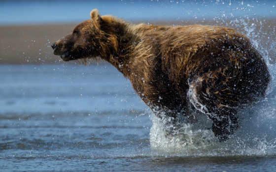 медведь, медведи, zhivotnye, мишка,