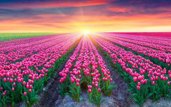 hintergrundbild, blumen, tulpen, tiere, und, holland, bilder,