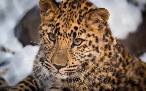 кот, wild, тигр, mac, взгляд