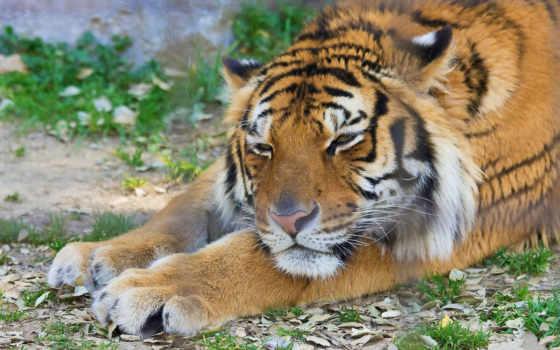 тигры, животные Фон № 19405 разрешение 1920x1200
