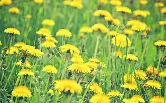 поле, жёлтое, одуванчики
