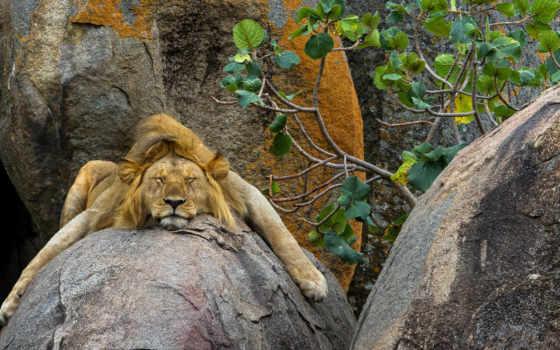 lion, zhivotnye, львы