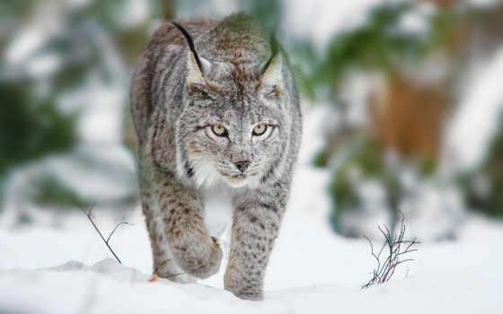 рысь, кот, winter