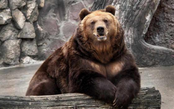 медведь, природа, лежит, браун, zoo, морда,