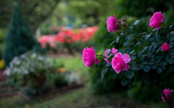 розы, цветы, bush, flowers, размытость, roses, растение, шиповник, park, роза,