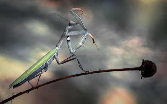 mantis, насекомое, макро, zhivotnye, насекомые, стебель, цветы, богомола,