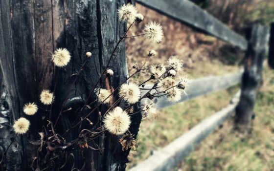 цветов, засохших, одуванчики, полевых, природа, макро, дек, cvety, полевые, осень, золотые,