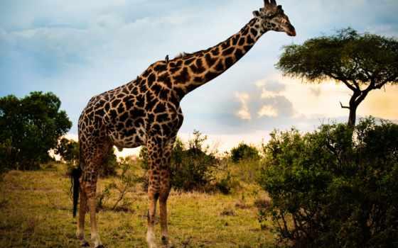 жираф, африки, саванна, animal, может, жирафы, zhivotnye, животного, сзади,