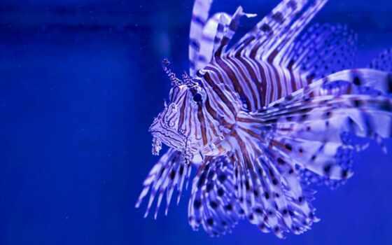 fish, zebra, крылатка, lion, striped, title, volitan, pterois