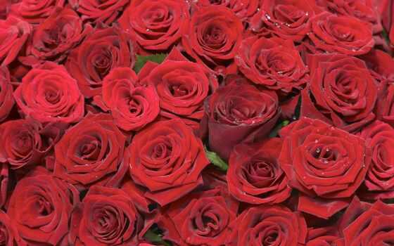 роза, postcard, букет, цветы, scarlet, million, красивый, huhut, love, white, фото