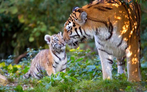 тигр, server, бенгальский, otzyv, прилавок, салон, биг, группа, opinion, animal, wild