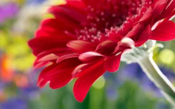 topuzz, цветы, часть, праздником, фотопечать, фоны, daisy, reflected, мем, fl, water, gerbera, closeup, red, admin, создать, puzzle, постер, разные, margaritas, пазл, imagenes, flores,