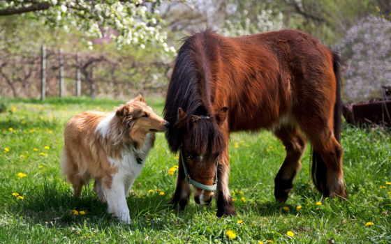 колли, лошадь, собака, взгляд, пони, трава,
