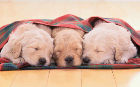 sleeping, cute, собака, puppies, dogs, that, stay, спать, source,