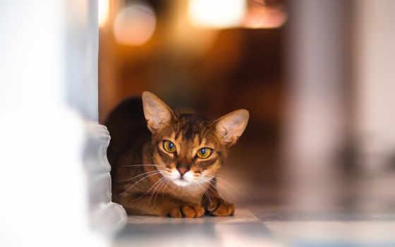 абиссинская, кот, кошки, кошек, качестве, порода, высоком, красивая,