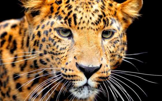 книга, animal, jungle, jaguar, морда, хищник, малыш, fun, amazon, fact, side
