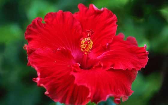 гибискус, hibiscus, экстракт
